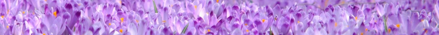 cropped-crocus-flowers-violet-spring-45180.jpeg