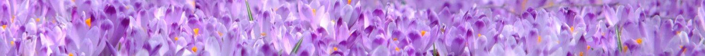 cropped-crocus-flowers-violet-spring-45180.jpeg